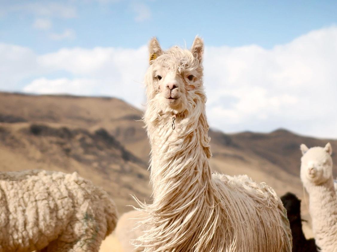 Alpakos – gyvūnai, kuriuos pamilsite iš pirmo žvilgsnio